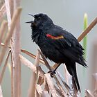 Rain Soaked Black Bird Sings by David Friederich