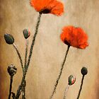 Poppy Dream by nefetiti