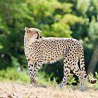 Cheetah by Robby Ticknor