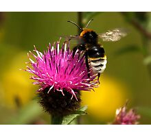 White Bottomed Bumble Bee Photographic Print
