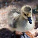 duck, duck, gosling! by Jen Wahl