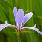 Purple Iris by Joy Fitzhorn