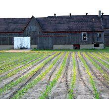 Corn rows and barn by tanmari