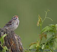 Savannah Sparrow - Ottawa, Ontario by Stephen Stephen