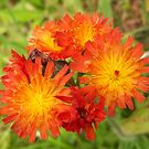 Orange Hawkweed by Lynn Bolt