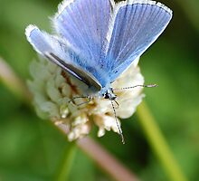 Common Blue by Declan Carr
