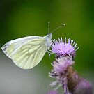 Cabbage White Butterfly by vbk70