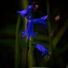 Blue Bells by Tim Foster
