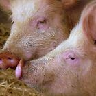 Hey Babe! Pigs - Mosburn Southland NZ by AndreaEL