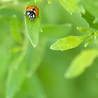 Ladybug on a green leaf by Tad Denson