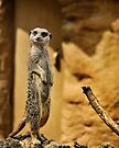 Meerkat,  London Zoo by LudaNayvelt