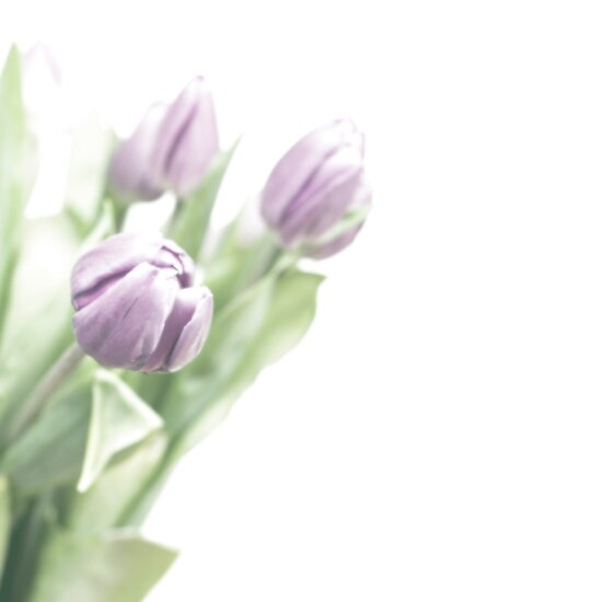 Pale lilac-coloured tulips by friendlydragon