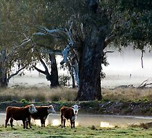 Frosty Start in the King Valley1 by nealbrey