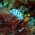 Spotted Nudibranch, The Nudi Bar, Hillarys by JVGMcGhie