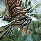 Lionfish, Lighthouse Bay, Exmouth by JVGMcGhie