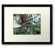Lionfish, Lighthouse Bay, Exmouth Framed Print