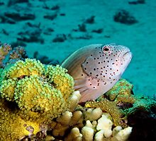Freckled Hawkfish by cooperscuba