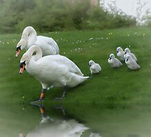 Swans and Cygnets by Chris Cherry