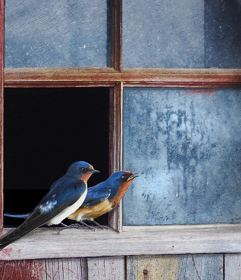 barn swallows in old farm window by R Christopher  Vest