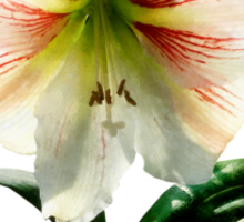 White Lily With Red Stripes Sticker