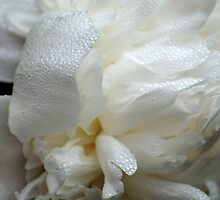White peony with rain drops by Antanas