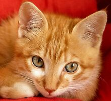 Beautiful red hired kitten by IKGM