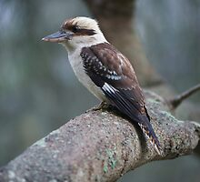 Kookaburra laugh by donnnnnny