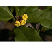 Rough Leaf Pittostrum Photographic Print