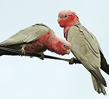 Scruffy Galahs by Robert Abraham