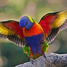 THE MATING DANCE   RAINBOW LORIKEET QLD  AUSTRALIA by DIZZYHEIGHTS