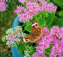 Buckeye Butterfly by James Brotherton