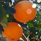 Ripe Oranges ready for harvesting by Nick  Gill