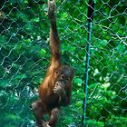 """Sweet Face"" Young Orangutan at Cheyenne Mountain Zoo by Zeibyasis"