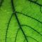 Nerves capillaries of  green leaf by Antanas