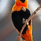 """Orange Bishop Finch"" at Cheyenne Mountain Zoo by Zeibyasis"