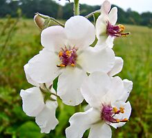 Moth Mullein Wildflowers - Verbascum blattaria by MotherNature