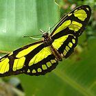 Green Malachite Butterfly by Paula Betz
