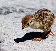 slim pickings for a baby partridge... by MikeShort