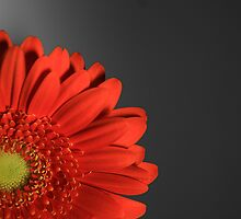 Gerbera  by Leon Ritchie