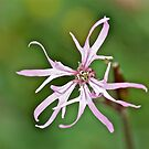 Ragged Robin by dilouise