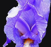 Purple Passion - Radiant Purple Iris on Jet Black Background by BlueMoonRose