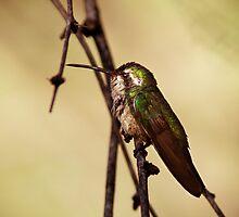 Broad-billed Hummingbird by pandapix