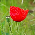 Poppy and  a pod by ImageItFoto