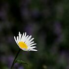 giant daisy by codaimages