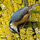 Red-breasted Nuthatch by Nancy Barrett