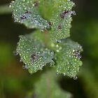 Dewdrop diamonds and dandelions 6 by Barbara  Glover