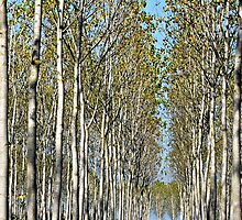 Tree Farm-Tuscany by Deborah Downes