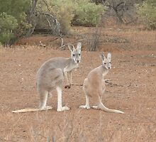 Red Kangaroos by Kylie Jones