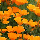 orange poppies by humbugcow