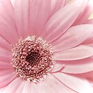 Pale Gerbera by MarjorieB
